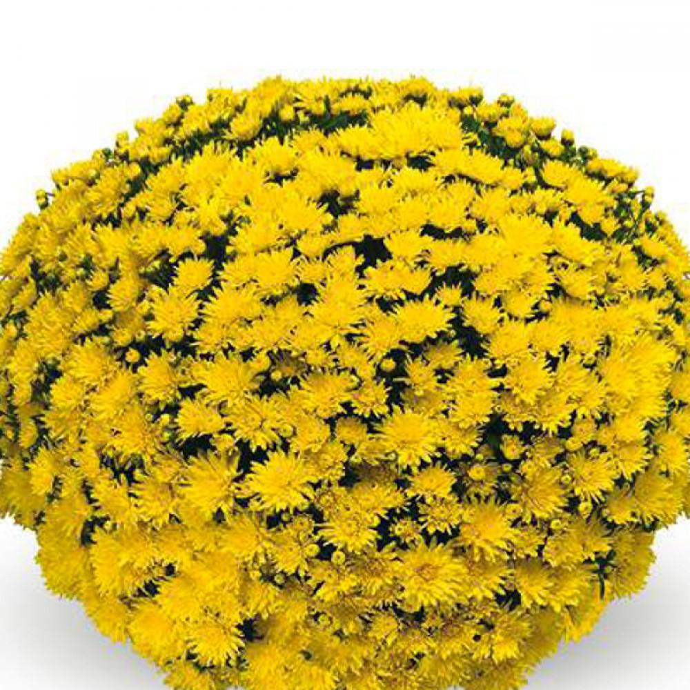 Хризантема Josada Dark Yellow