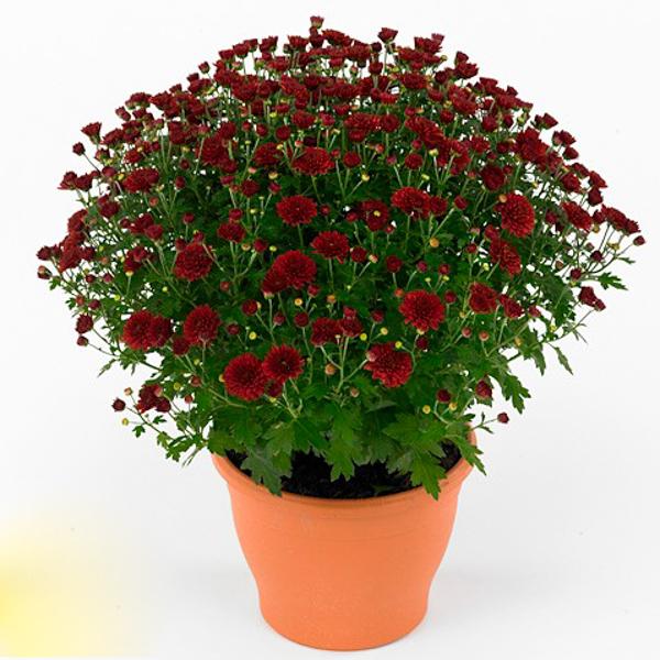 Хризантема Josada Red