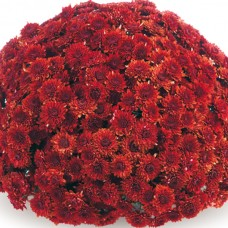 Хризантема Avalon Red