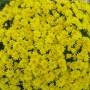 Хризантема Avalon Yellow