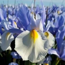Ирис Hollandica Silvery Beauty