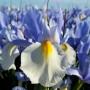 Ірис Hollandica Silvery Beauty