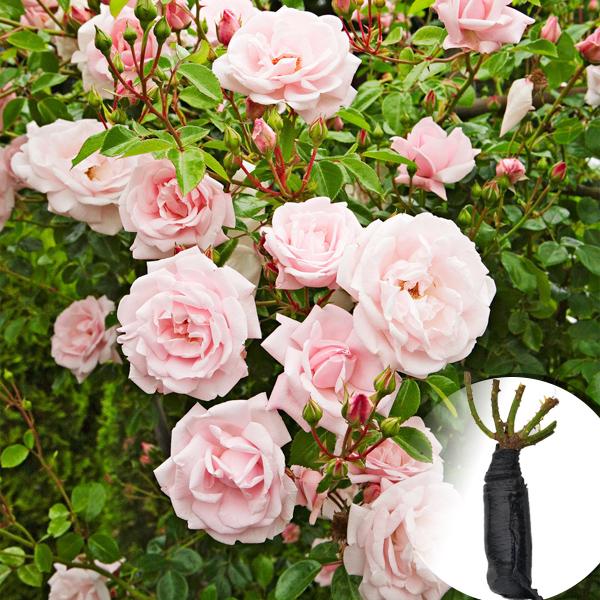 Троянда New Dawn