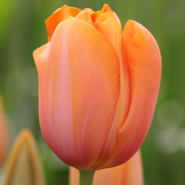 Тюльпан Salmon Pearl