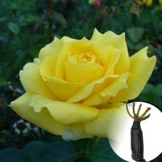 Троянда Landora