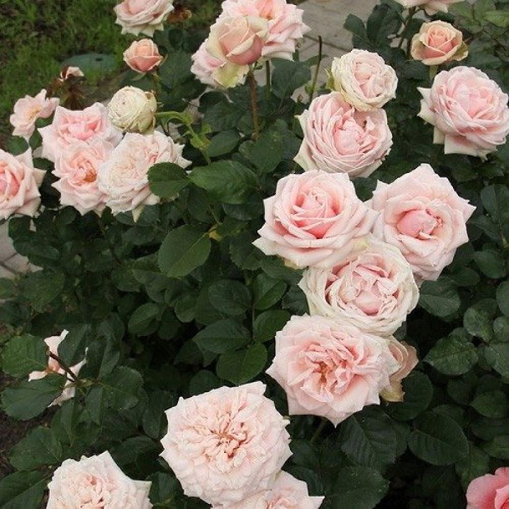 Троянда Majestic