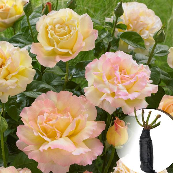 Троянда Peace