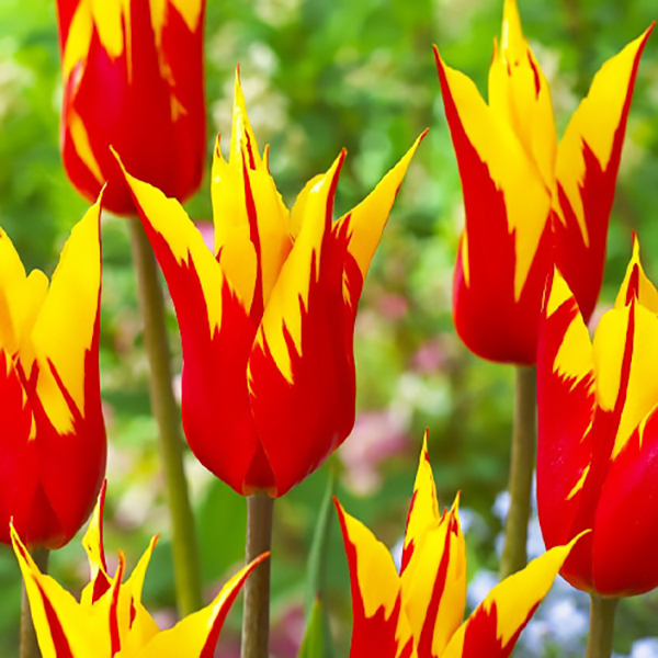 Тюльпан Firework