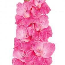 Гладіолус Pink Event