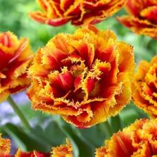 Тюльпан Dutch Pioneer