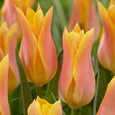 Тюльпан Marianne