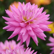 Жоржина Pink Corona