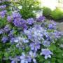 Клематіс Blue Light