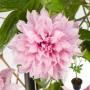 Клематіс Multi Pink