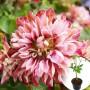 Клематіс Pink Passion