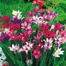 Бабиана Kew Hybrids