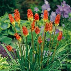 Книфофия Uvaria Grandiflora