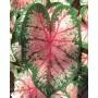 Каладіум Cherry Blossom