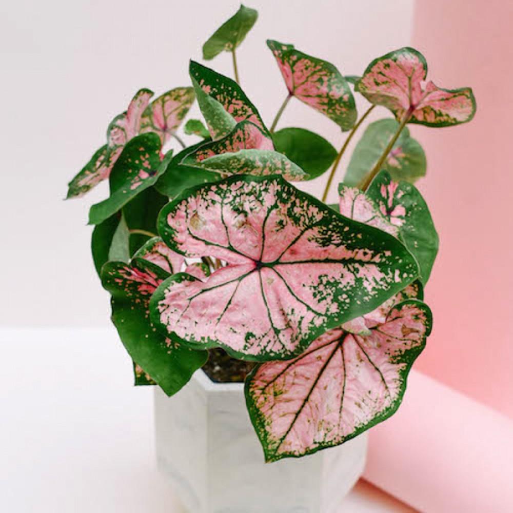 Каладіум Pink Beauty