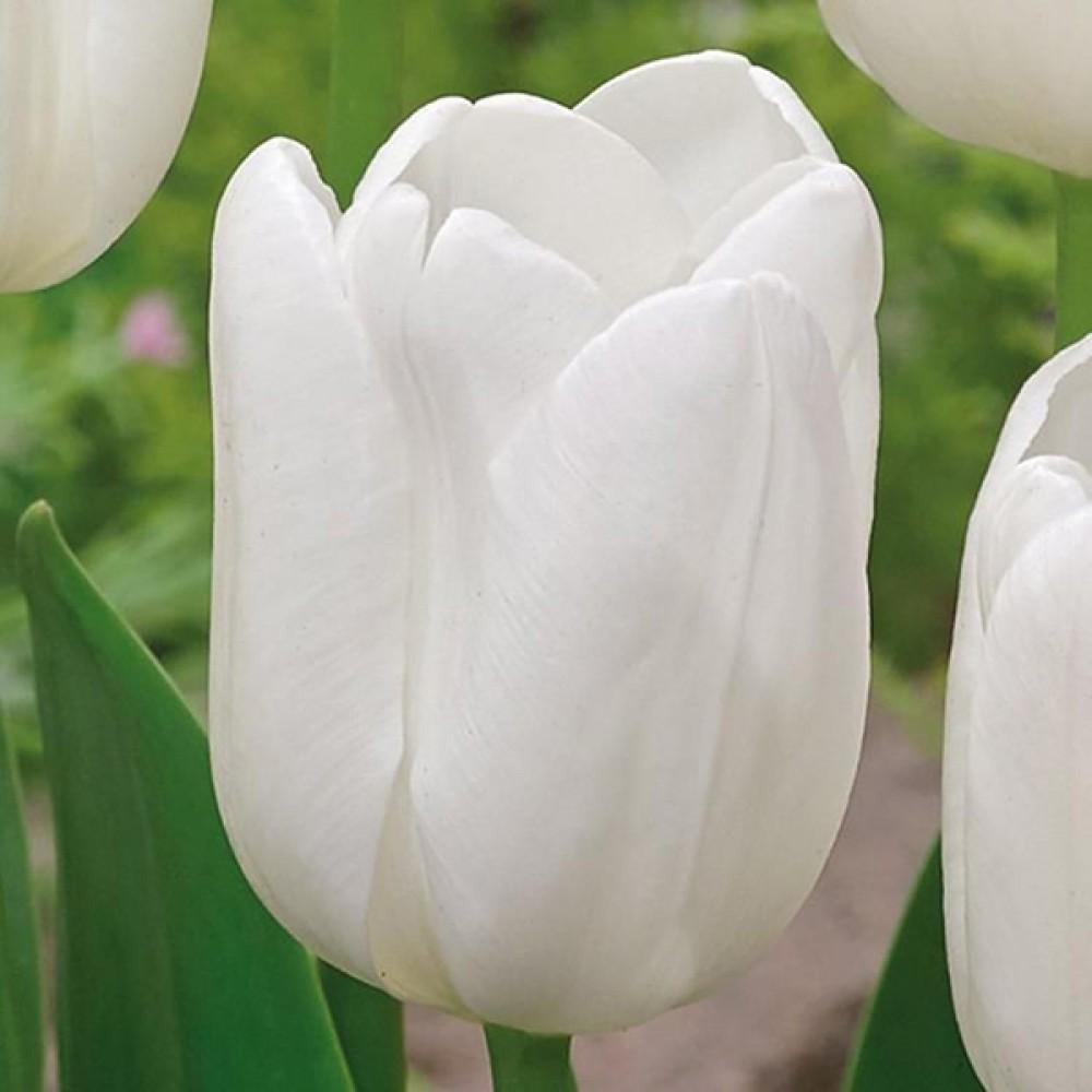 Тюльпан Agrass White
