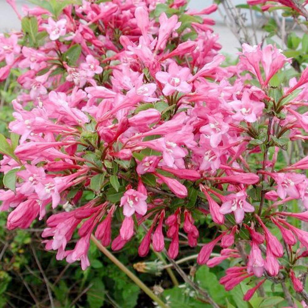 Вейгела Florida Pink p9