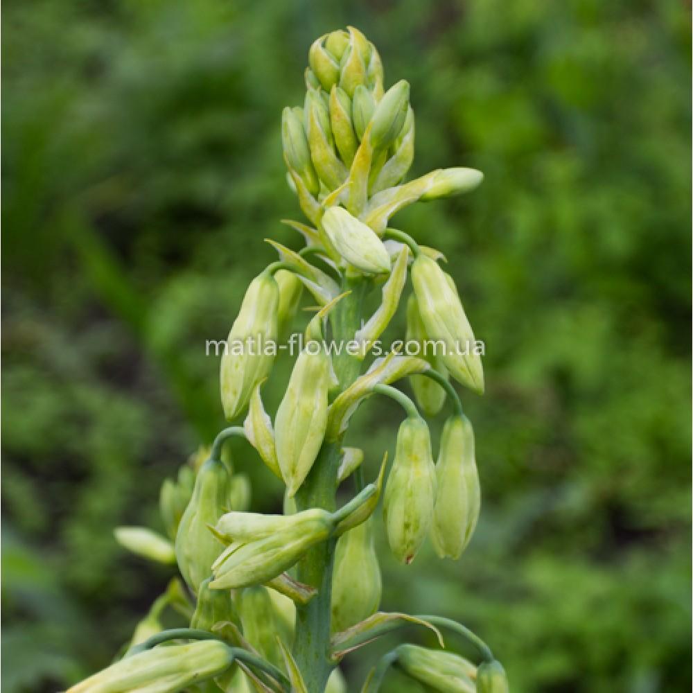 Гальтонія Viridiflora