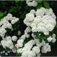 Спірея Albiflora d14