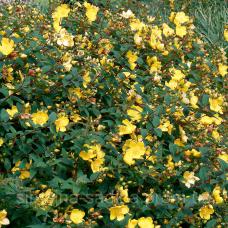 Звіробій Hidcote Gold d14