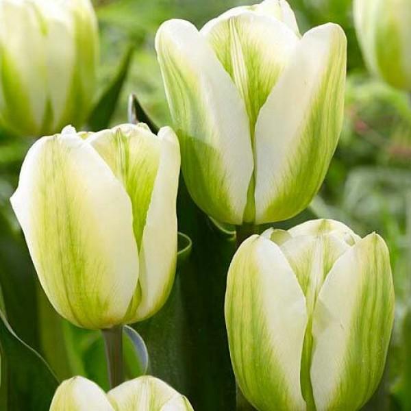 Тюльпан Green Spirit