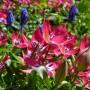Тюльпан Little beauty