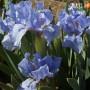 Ірис Pumila Blue Denim (саджанець)