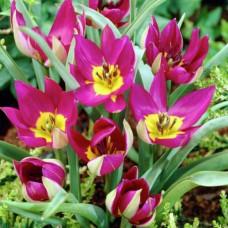 Тюльпан Persian pearl