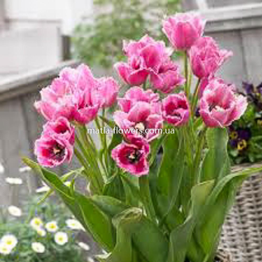 Тюльпан Fringed Family
