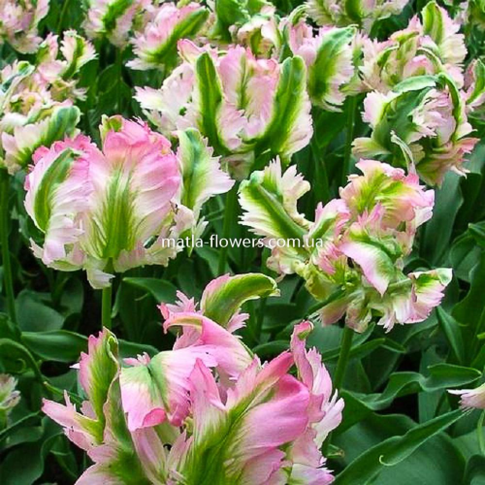 Тюльпан Green Wave