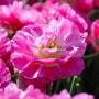 Тюльпан Pink Size