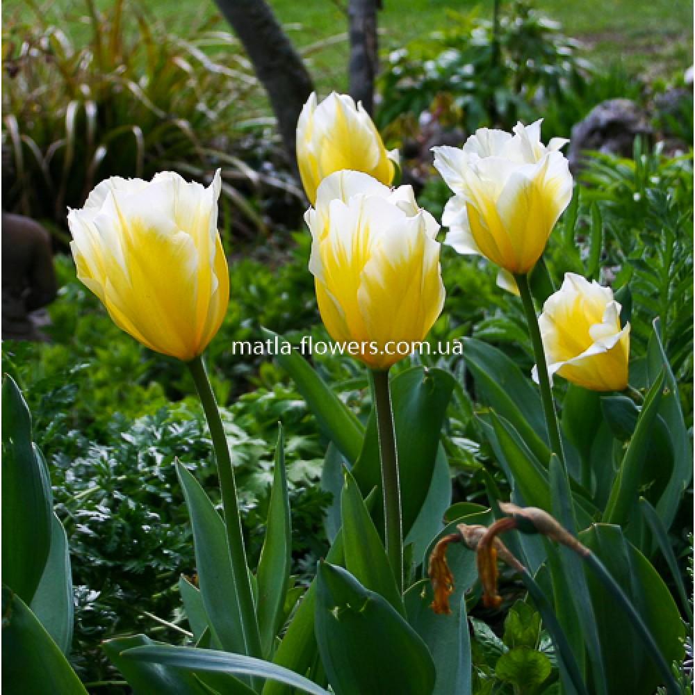 Тюльпан Sweetheart