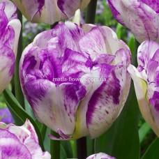 Тюльпан Shirley Double