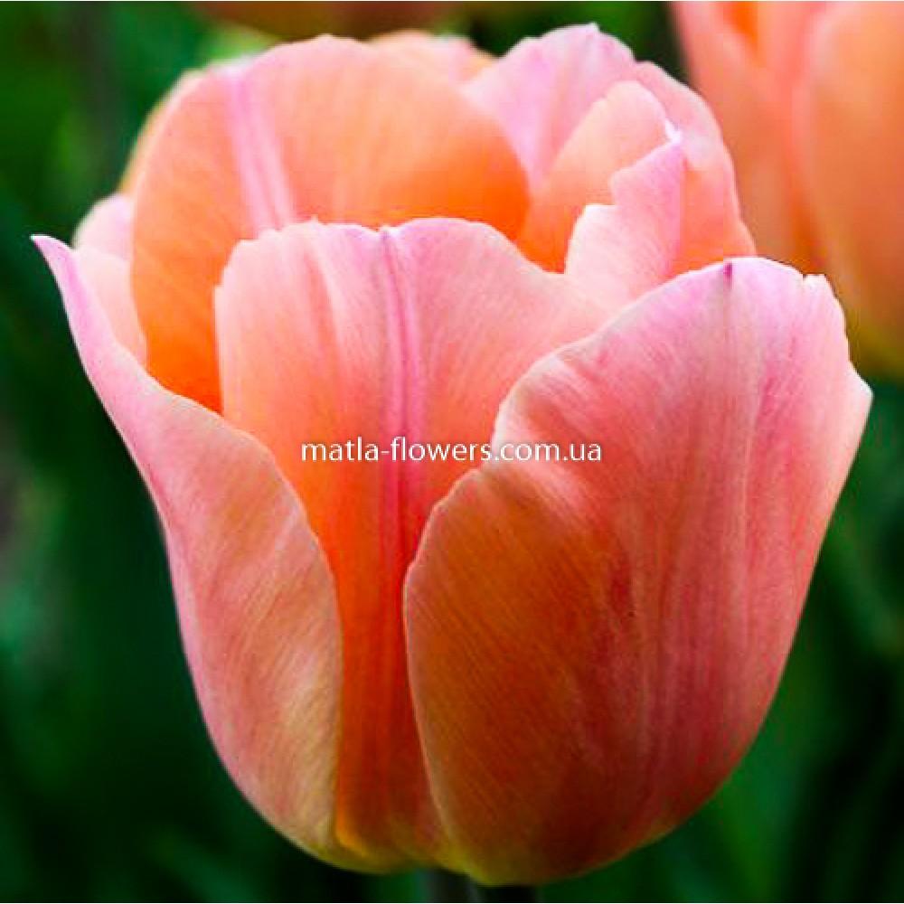 Тюльпан Apricot Favourite