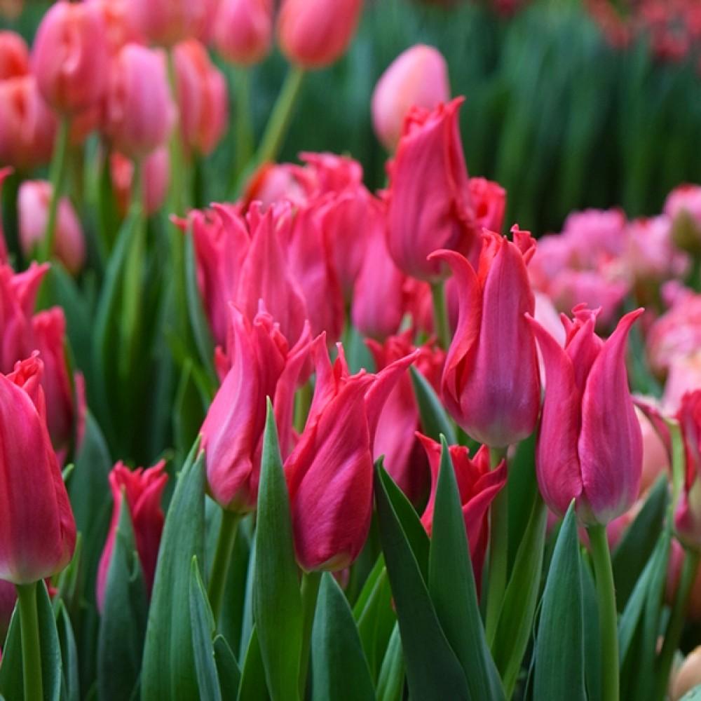 Тюльпан Pretty Love