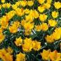 Тюльпан Batalinii Bright Gem