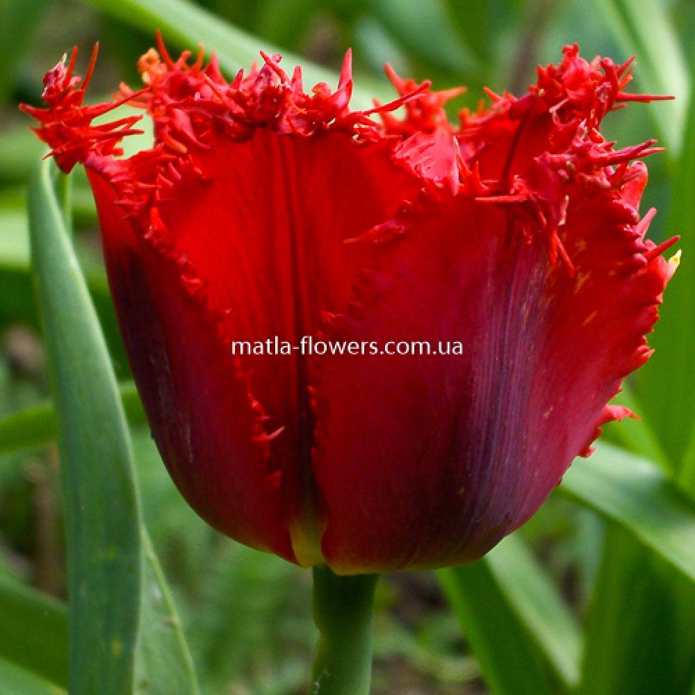 Тюльпан Calibra
