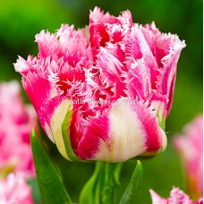 Тюльпан Crispion Sweet
