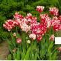 Тюльпан Estella Rijnveld