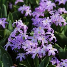 Хіонодокса Violet Beauty