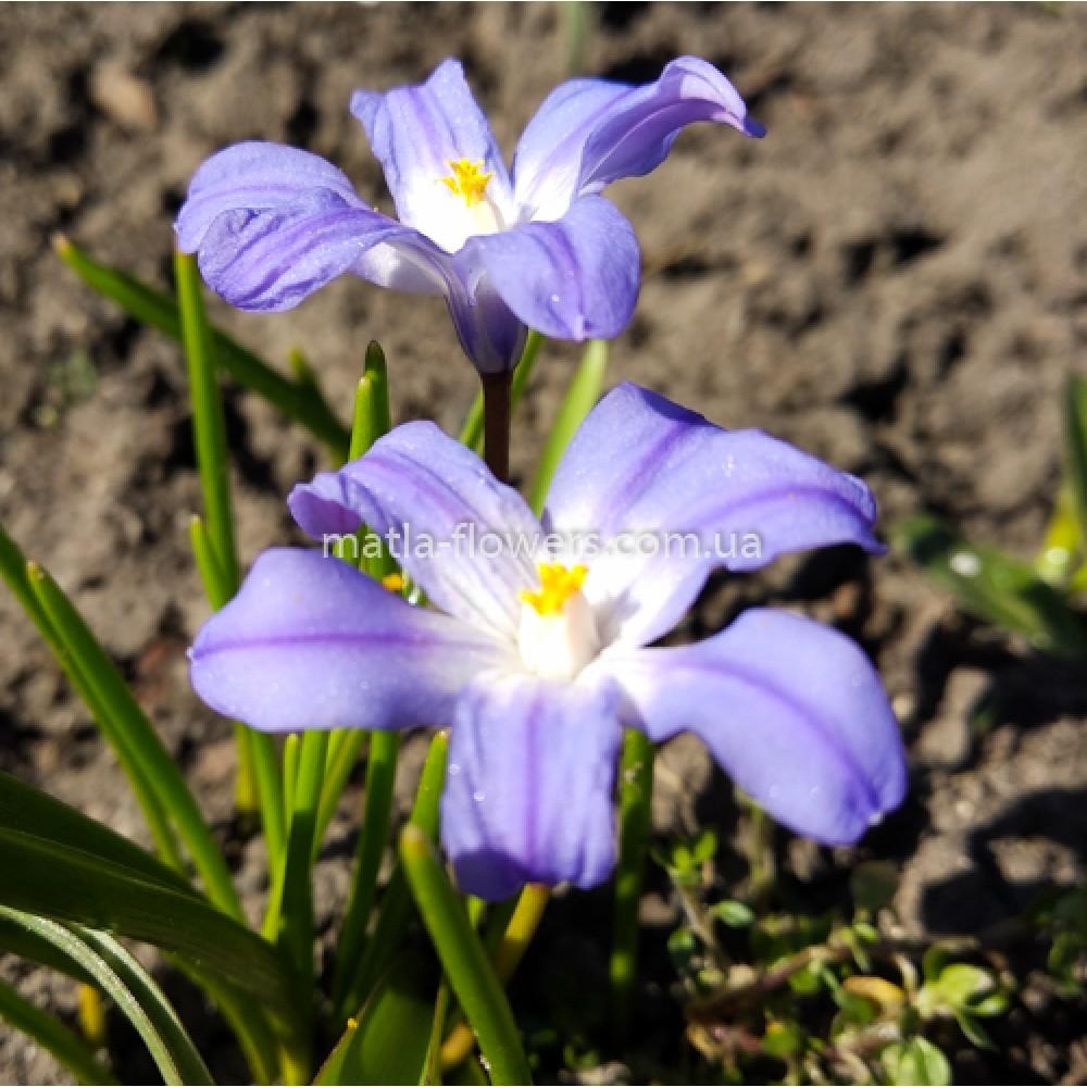 Хионодокса Violet Beauty