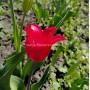 Тюльпан Pretty Women