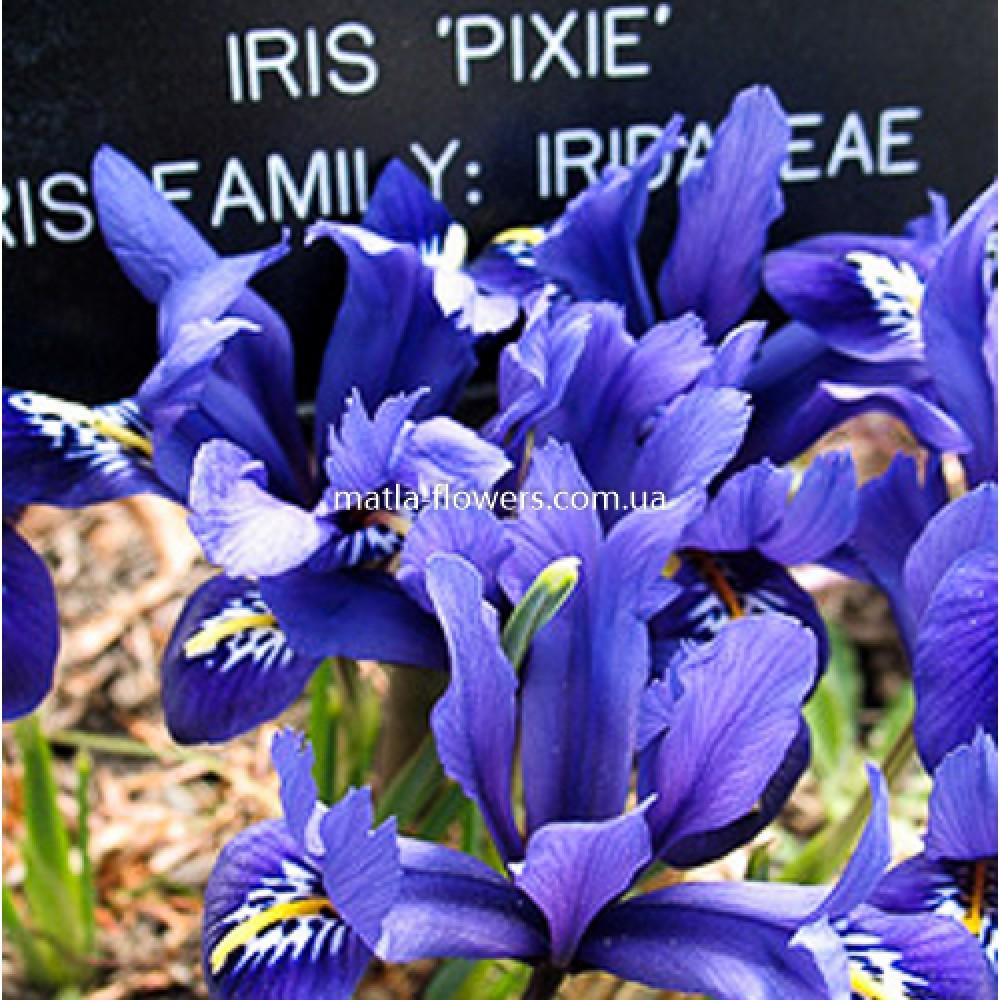 Ірис Reticulata Pixie