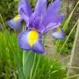 Ірис Hollandica Sapphire Beauty