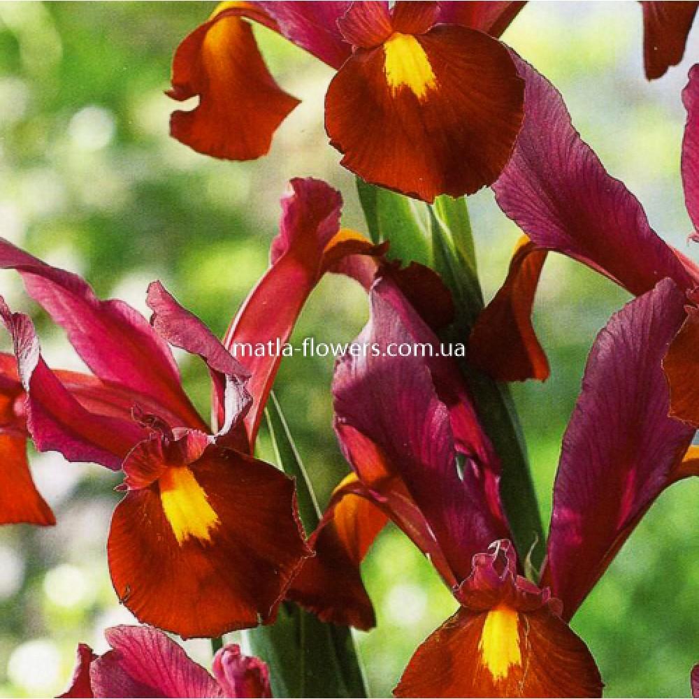 Ірис Hollandica Red Ember