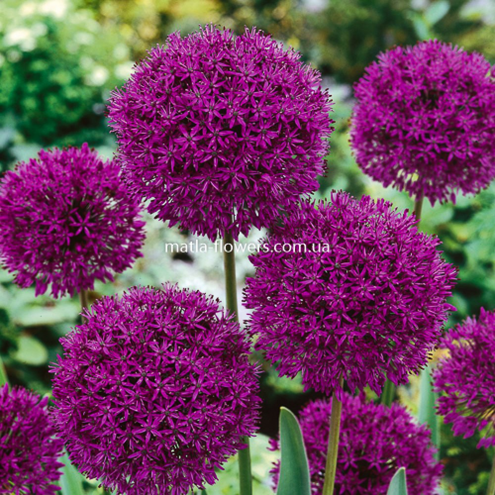 Алліум Purple Sensation